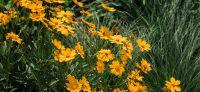 16_vorgarten_mediterran_planzplanung_stauden_coreopsis_grandiflora
