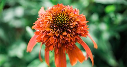 Langblühend und immunsystemstärkend: Der Sonnenhut (Echinacea)