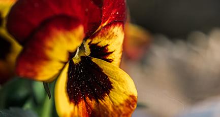 hornveilchen-viola-frühlingsblüher