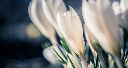 krokus-crocus-iridaceae-frühling-frühblüher