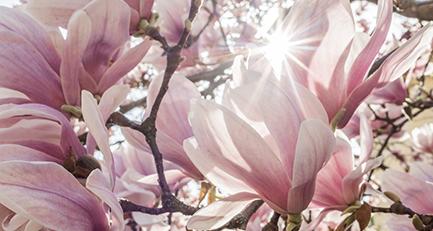 gartenplanung-gartengestaltung-magnolie
