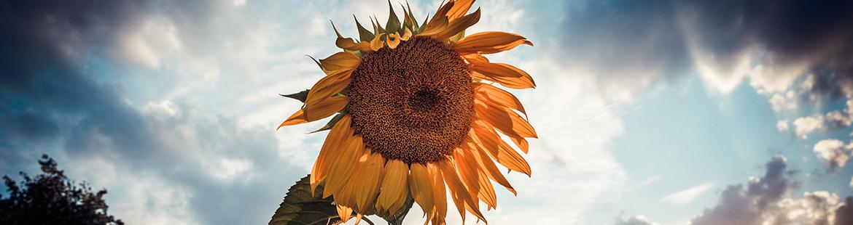sonnenblume-helianthus-garten-beete